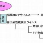 猫伝染性腹膜炎(FIP)
