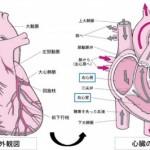 心臓の構造と機能