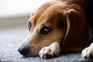 beagle-1248768_640