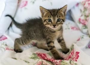 kitten-1517537_640